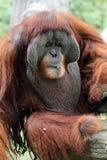 Archivbild eines Orang-Utans an einem Zoo Stockfotos