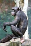 Archivbild eines Orang-Utans an einem Zoo Stockbild