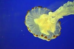 Archivbild von Jelly Fish Lizenzfreies Stockbild