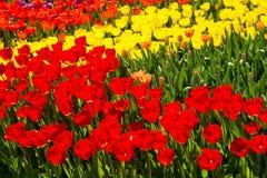 Archiviert von den roten und gelben Tulpen lizenzfreies stockfoto