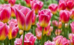 Archiviert von den Tulpen stockfoto
