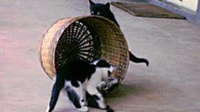 Archivistique des chatons avec le jouet d'animal familier banque de vidéos