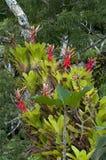 Archmea di fioritura Fotografia Stock