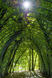 Archway of hornbeams Stock Photography