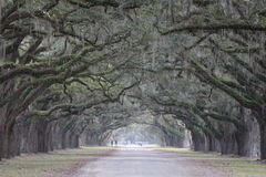 Archway of live oaks Royalty Free Stock Images