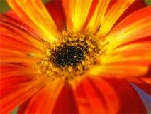 Arcitosis Daisy Στοκ Εικόνες