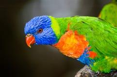 Arco-íris colorido Lorikeet Imagem de Stock