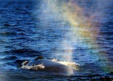 Arco-íris da bolha da baleia Fotos de Stock Royalty Free
