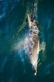 Arco-íris de sopro do golfinho de Bottlenose Fotografia de Stock Royalty Free