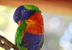 Arco-íris Lorikeet 2 Foto de Stock Royalty Free
