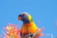 Arco-íris Lorikeet Fotografia de Stock Royalty Free