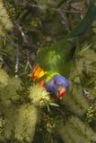 Arco-íris Lorikeet Foto de Stock Royalty Free