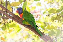 Arco-íris Lorikeet Fotografia de Stock
