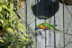 Arco-íris Lorikeet Fotos de Stock