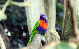 Arco-íris Lorikeet foto de stock