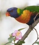 Arco-íris Lorikeet que alimenta em uma flor imagem de stock royalty free