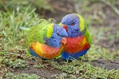 Arco-íris Lorikeets Imagens de Stock Royalty Free