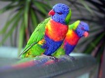 Arco-íris Lorikeets Fotografia de Stock