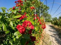 Arco coberto com as rosas vermelhas no jardim Parque com as flores cor-de-rosa bonitas imagem de stock royalty free