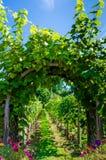 Arco cubierto con las vides y las uvas en viñedo Imágenes de archivo libres de regalías