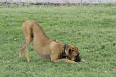Arco del gioco del cane del pugile Fotografie Stock