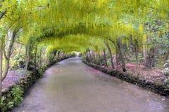 Arco del Laburnum in piena fioritura Fotografia Stock Libera da Diritti