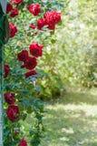 Arco della rosa rampicante rossa nel giardino di estate Immagini Stock