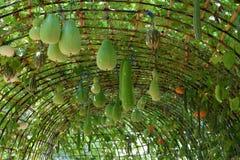 Arco delle verdure, arco del melone, midollo, luffa Fotografia Stock