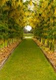 Arco di maggiociondolo in piena fioritura sopra il percorso dell'erba Fotografia Stock