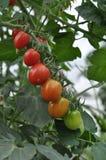 Arco iris del tomate Imágenes de archivo libres de regalías