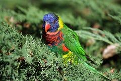 Arco iris Lorikeet Fotos de archivo libres de regalías