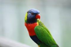 Arco iris Lorikeet Foto de archivo libre de regalías