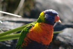 Arco iris Lorikeet Fotografía de archivo libre de regalías
