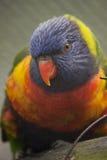 Arco iris Lorikeet Foto de archivo