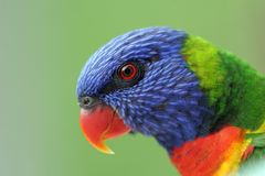 Arco iris Lorikeet imagen de archivo libre de regalías