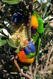 Arco iris Lorikeets Imagen de archivo libre de regalías