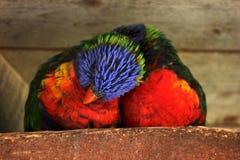 Arco iris Lorikeets Imagenes de archivo