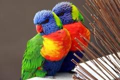 Arco iris Lorikeets Fotografía de archivo libre de regalías
