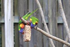 Arco iris Lorikeets Fotos de archivo libres de regalías