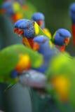Arco iris Lorikeets Imágenes de archivo libres de regalías