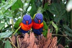 Arco iris Lorikeets Foto de archivo libre de regalías