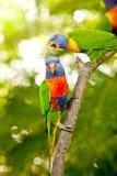 Arco iris Lorikeets encaramado en una rama Imagenes de archivo