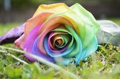 Arco iris Rose Foto de archivo libre de regalías