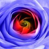 Arco iris Rose Macro Imagenes de archivo