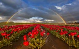 Arco iris sobre Tulip Field Fotos de archivo
