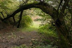Arco natural criado por uma árvore de salgueiro imagem de stock