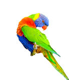 Arco-íris Lorikeet Imagens de Stock Royalty Free