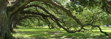 Arco verde del sud della quercia in tensione Fotografia Stock Libera da Diritti