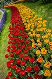 Arcobaleno del tulipano Fotografia Stock Libera da Diritti
