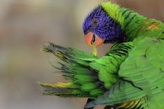 Arcobaleno Lorikeet fotografie stock